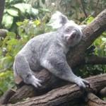 Was ich über Koalabären weiß