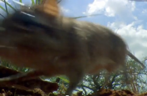 Sengis, die Elephanten Maus